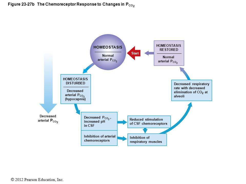 Figure 23-27b The Chemoreceptor Response to Changes in PCO2