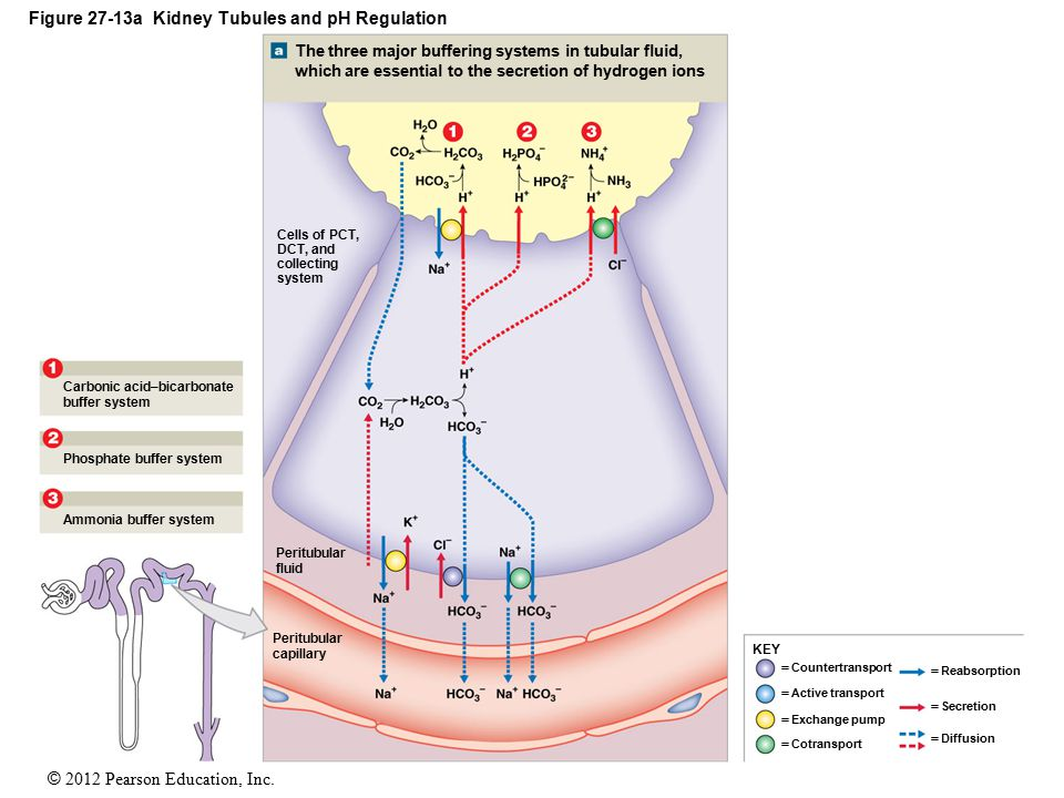 Figure 27-13a Kidney Tubules and pH Regulation