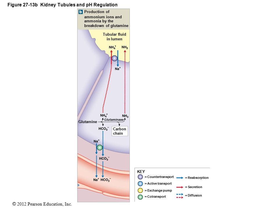 Figure 27-13b Kidney Tubules and pH Regulation