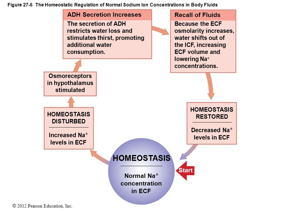 HOMEOSTASIS ADH Secretion Increases Recall of Fluids Start Normal Na