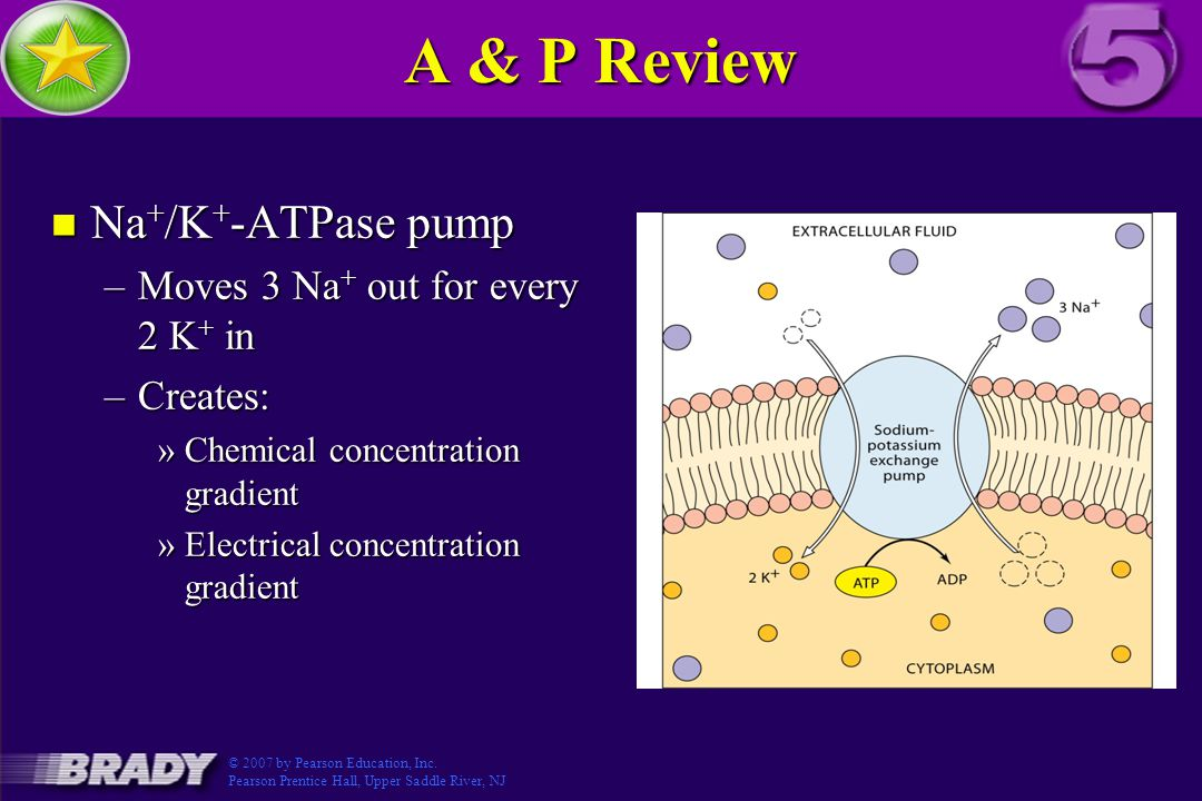 A & P Review Na+/K+-ATPase pump Figure 3.5-3