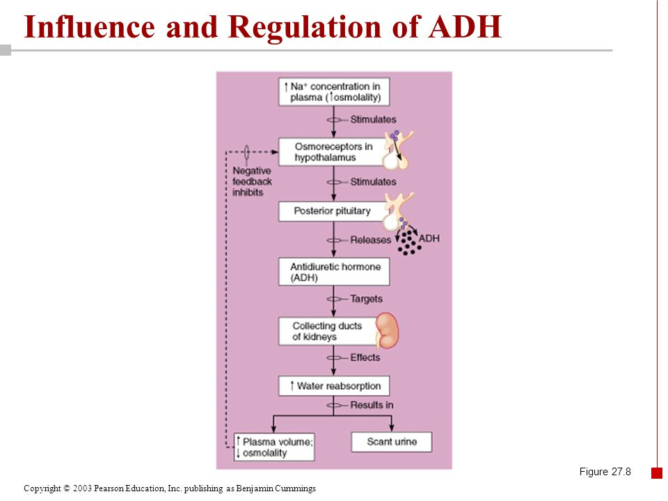 Influence and Regulation of ADH