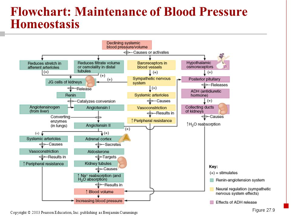 Flowchart: Maintenance of Blood Pressure Homeostasis