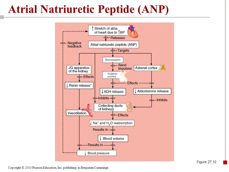Atrial Natriuretic Peptide (ANP)