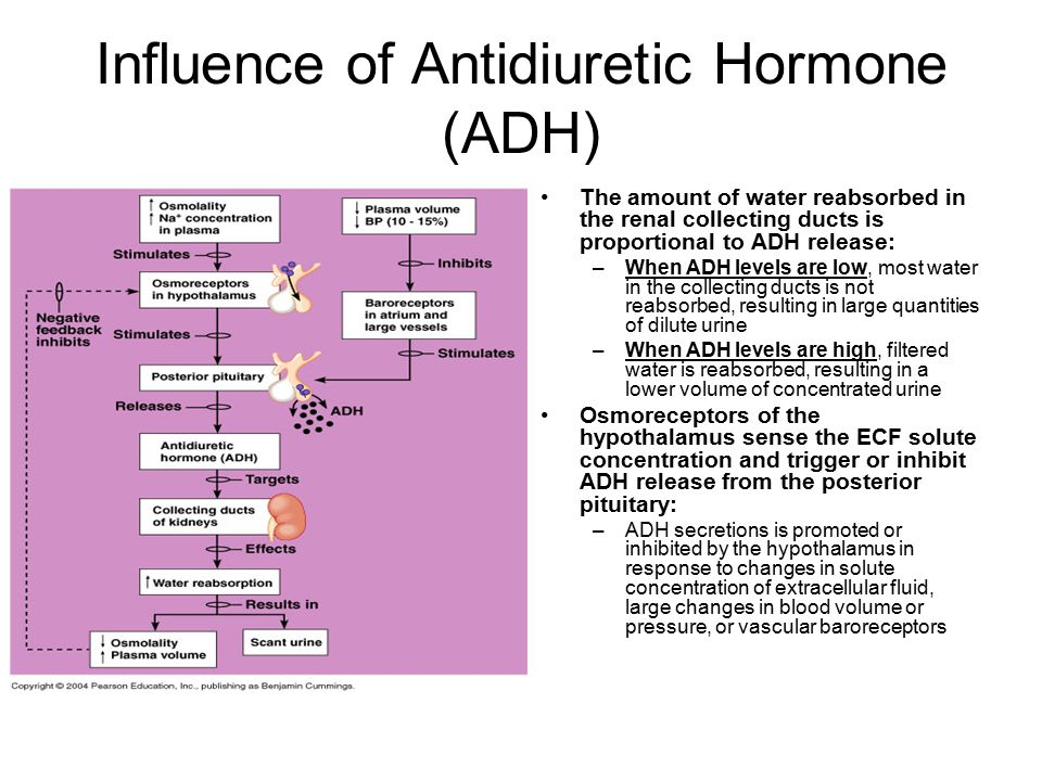 Influence of Antidiuretic Hormone (ADH)