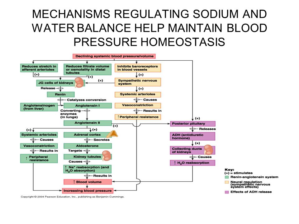 MECHANISMS REGULATING SODIUM AND WATER BALANCE HELP MAINTAIN BLOOD PRESSURE HOMEOSTASIS