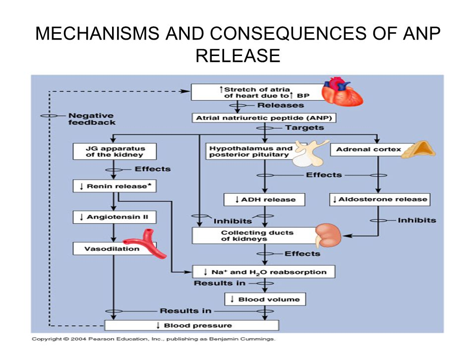 MECHANISMS AND CONSEQUENCES OF ANP RELEASE