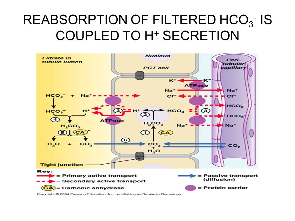 REABSORPTION OF FILTERED HCO3- IS COUPLED TO H+ SECRETION