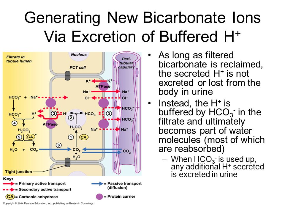 Generating New Bicarbonate Ions Via Excretion of Buffered H+