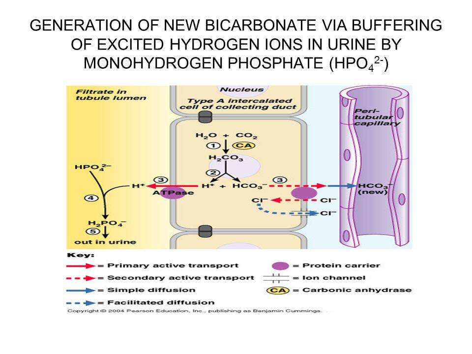GENERATION OF NEW BICARBONATE VIA BUFFERING OF EXCITED HYDROGEN IONS IN URINE BY MONOHYDROGEN PHOSPHATE (HPO42-)
