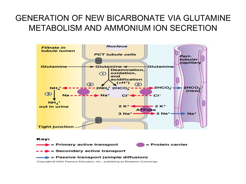 GENERATION OF NEW BICARBONATE VIA GLUTAMINE METABOLISM AND AMMONIUM ION SECRETION