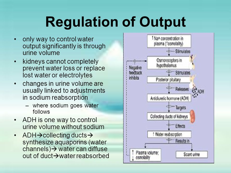Regulation of Output only way to control water output significantly is through urine volume.