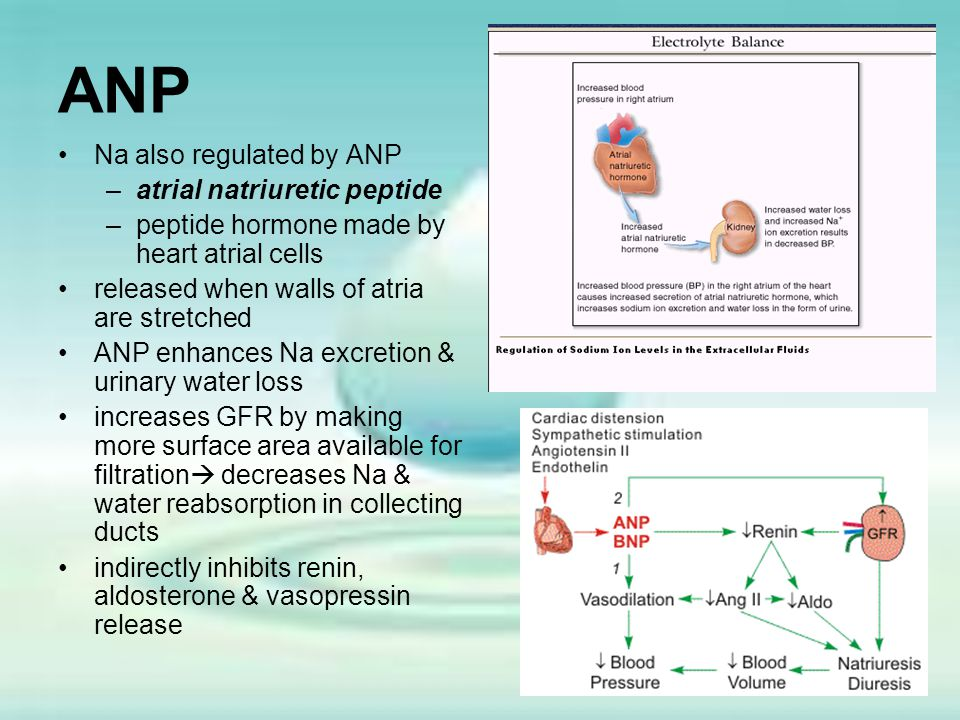 ANP Na also regulated by ANP atrial natriuretic peptide