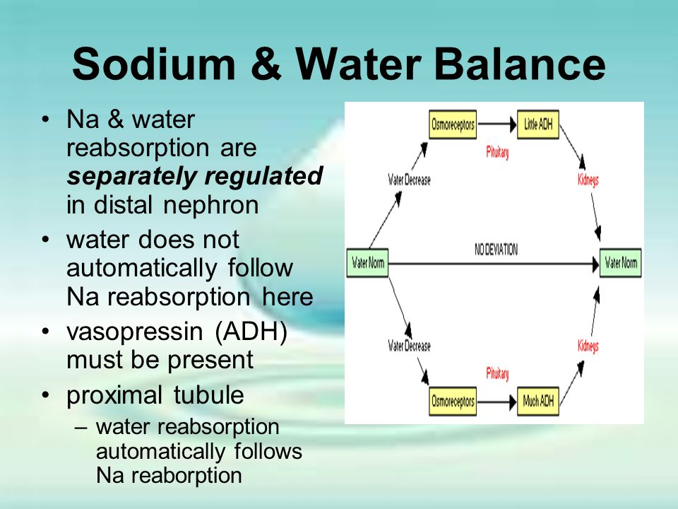 Sodium & Water Balance Na & water reabsorption are separately regulated in distal nephron. water does not automatically follow Na reabsorption here.
