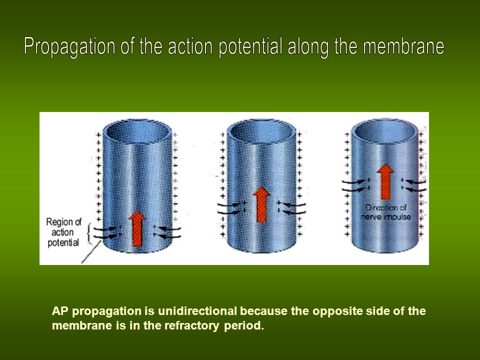 Propagation of the action potential along the membrane