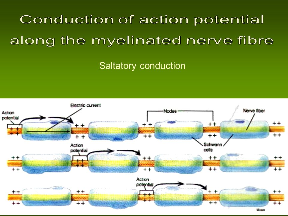 Conduction of action potential along the myelinated nerve fibre