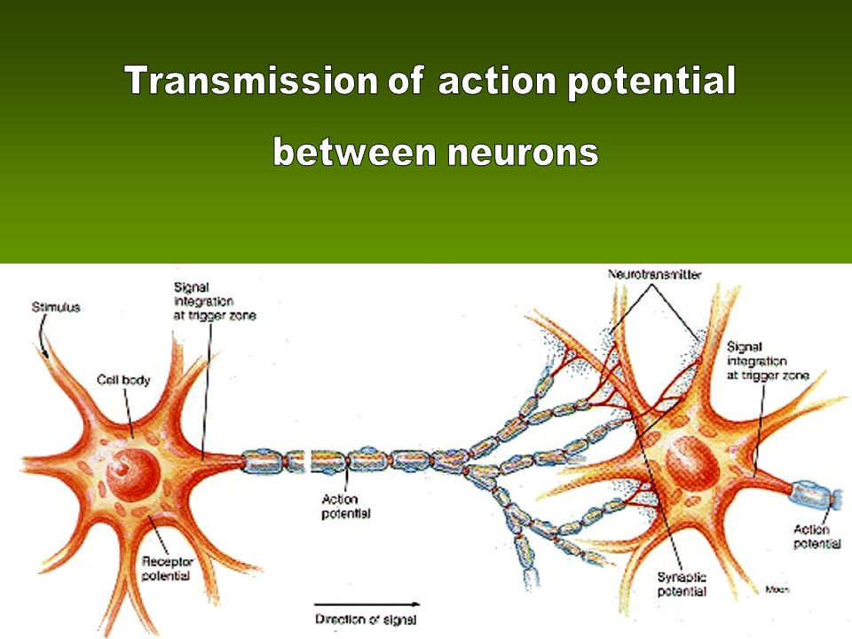 Transmission of action potential
