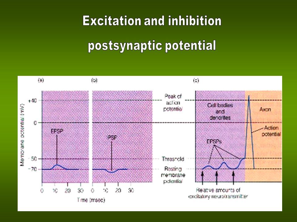 Excitation and inhibition postsynaptic potential