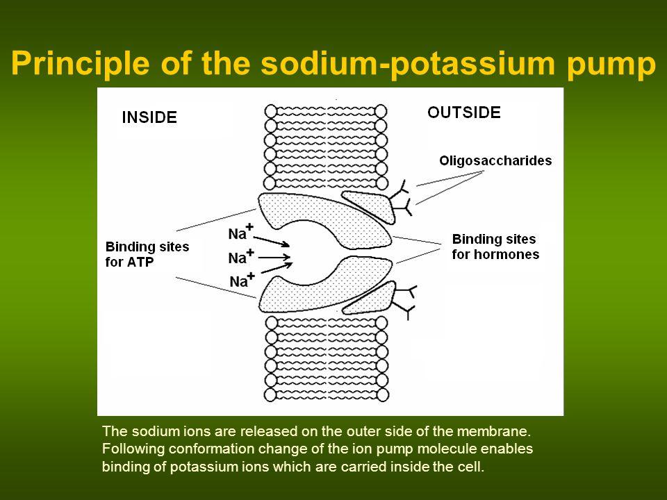 Principle of the sodium-potassium pump