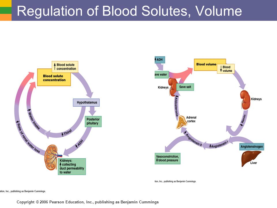 Regulation of Blood Solutes, Volume