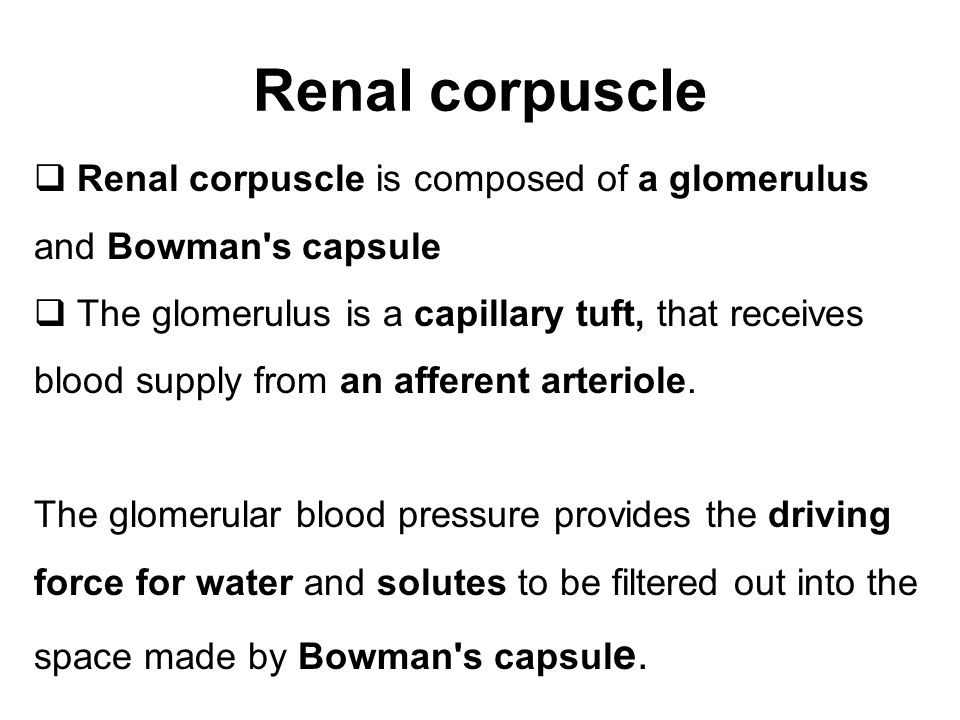 Renal corpuscle Renal corpuscle is composed of a glomerulus and Bowman s capsule.
