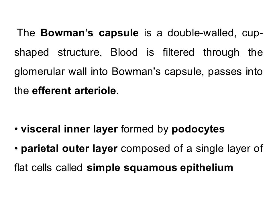 The Bowman's capsule is a double-walled, cup-shaped structure