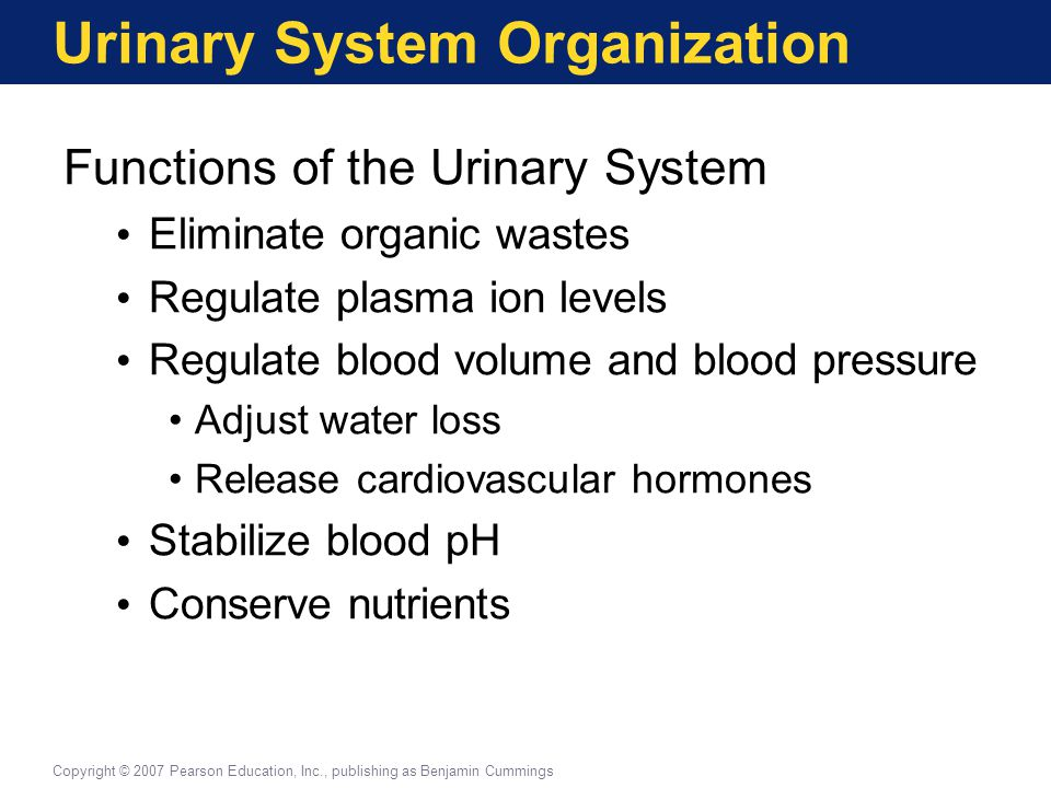 Urinary System Organization