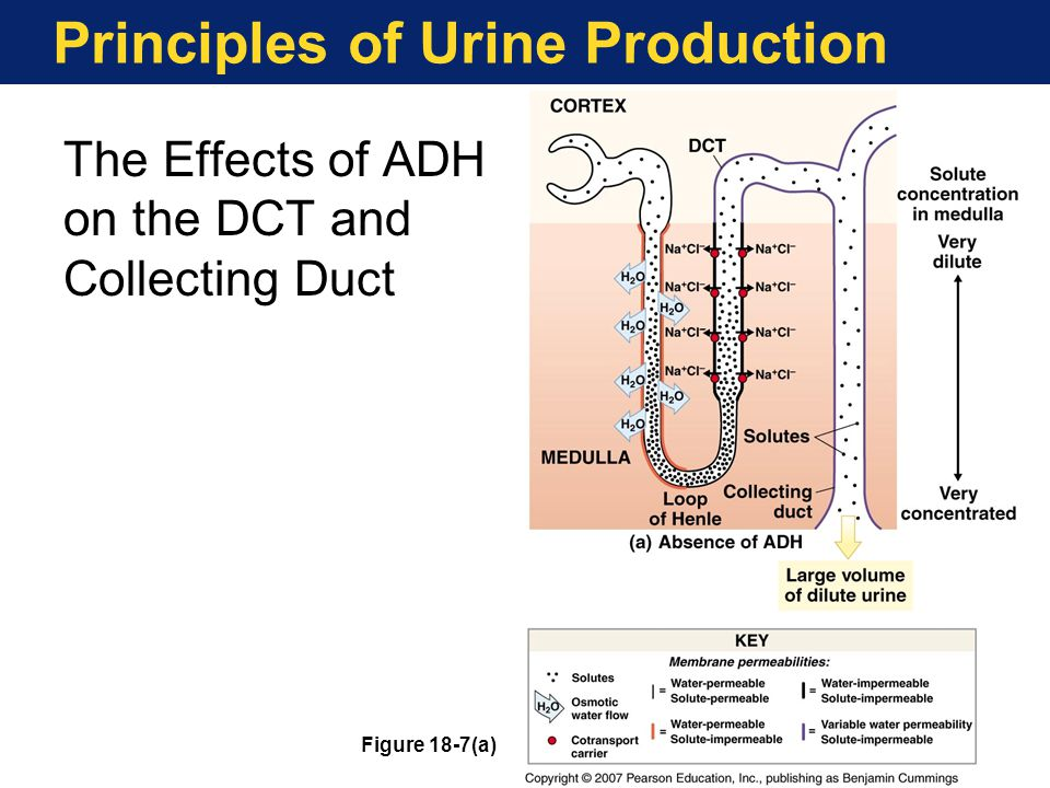 Principles of Urine Production