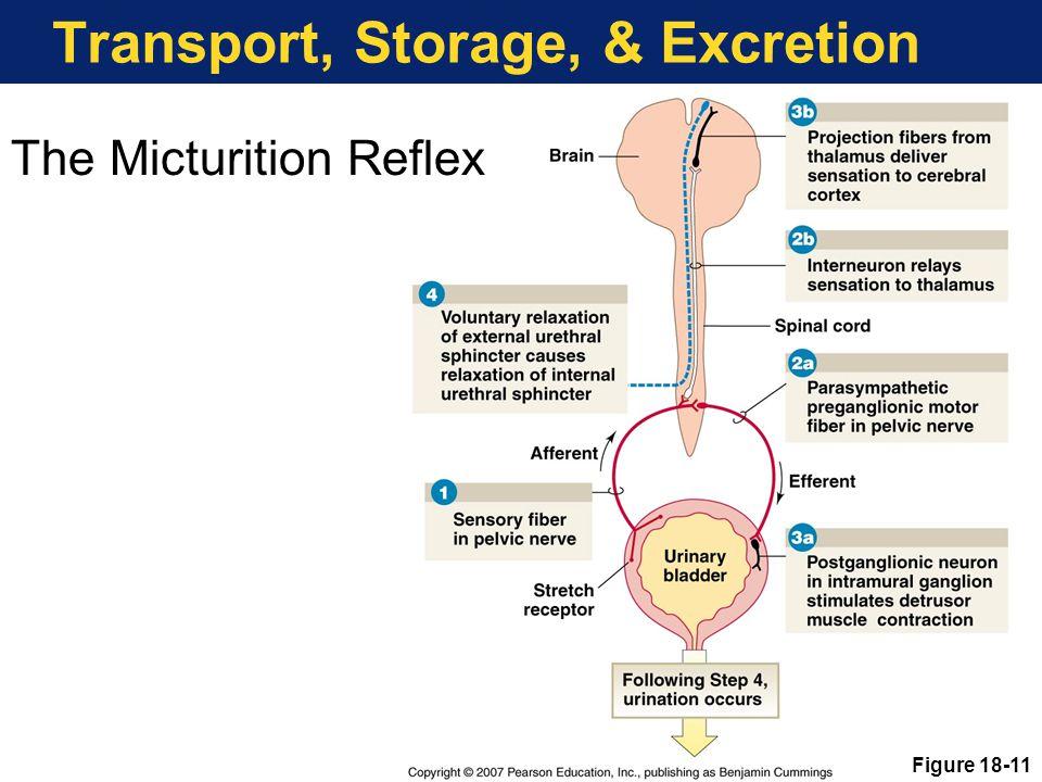Transport, Storage, & Excretion