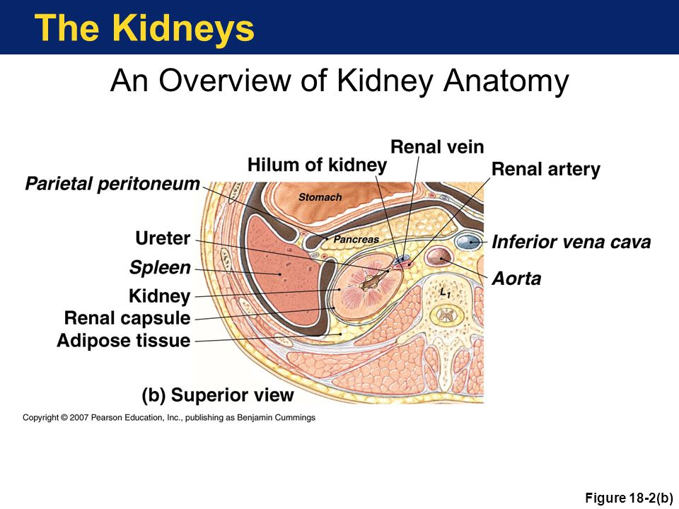 An Overview of Kidney Anatomy