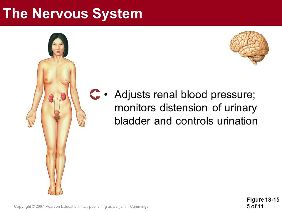 The Nervous System Adjusts renal blood pressure; monitors distension of urinary bladder and controls urination.