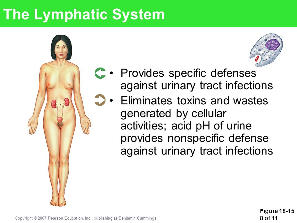 The Lymphatic System Provides specific defenses against urinary tract infections.