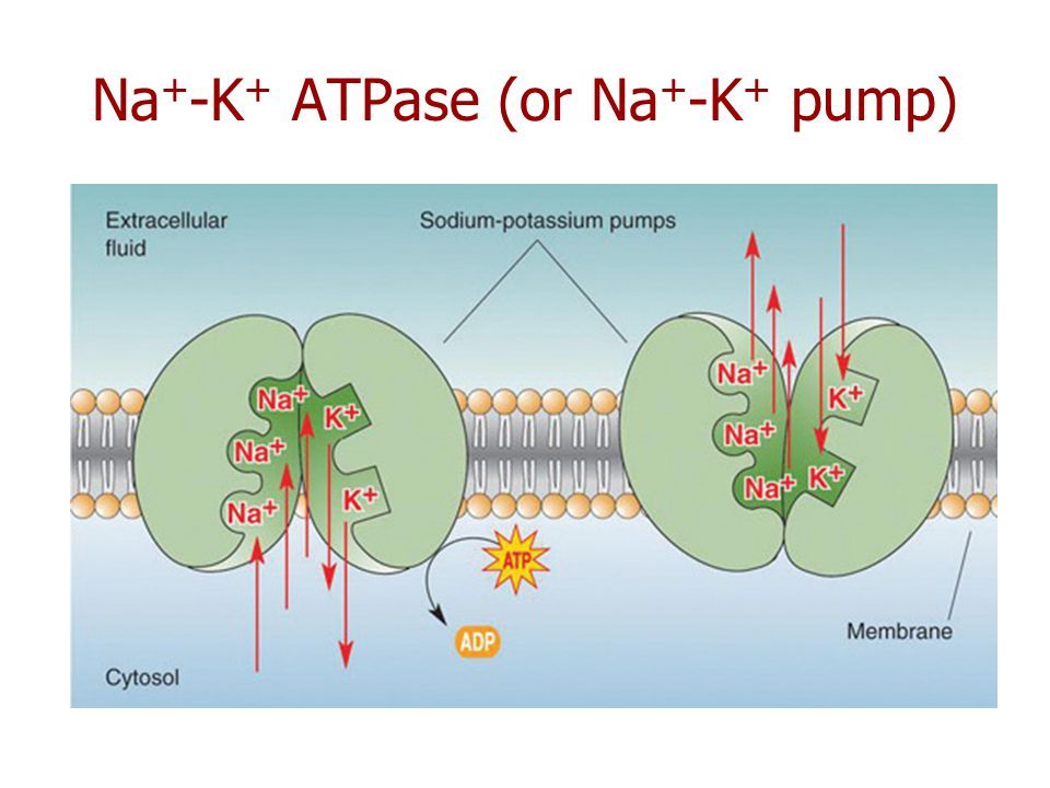 Na+-K+ ATPase (or Na+-K+ pump)