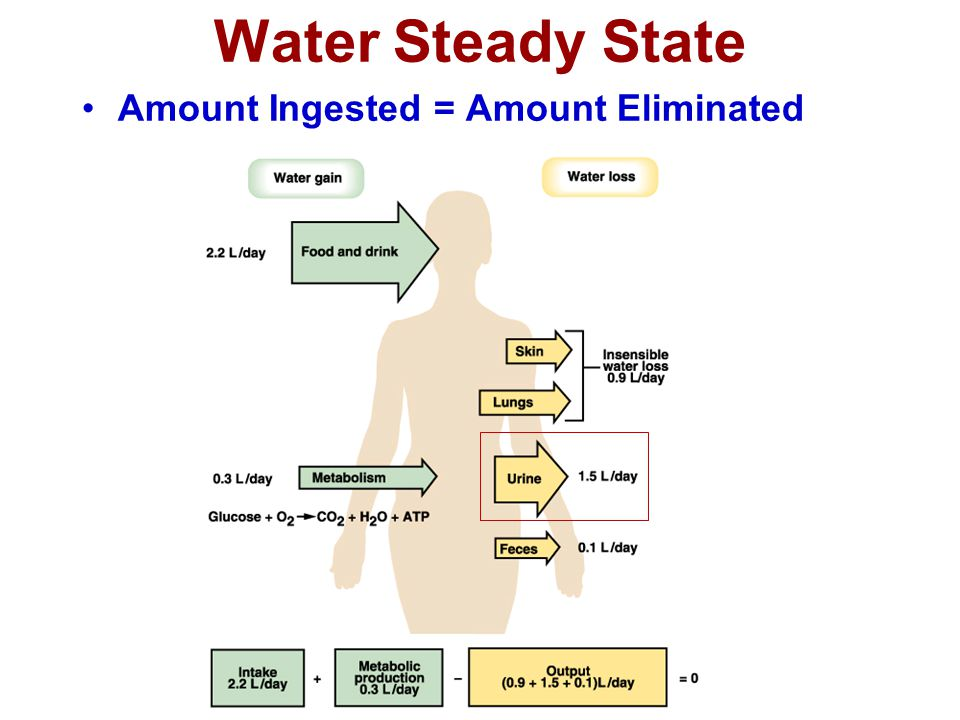 Water Steady State Amount Ingested = Amount Eliminated 4 4
