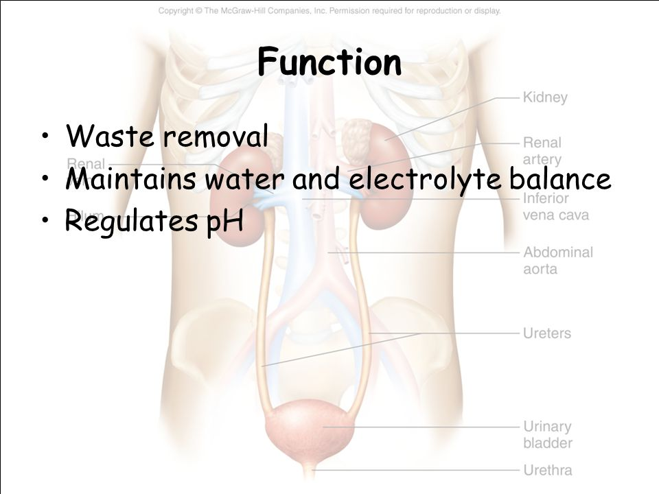 Function Waste removal Maintains water and electrolyte balance