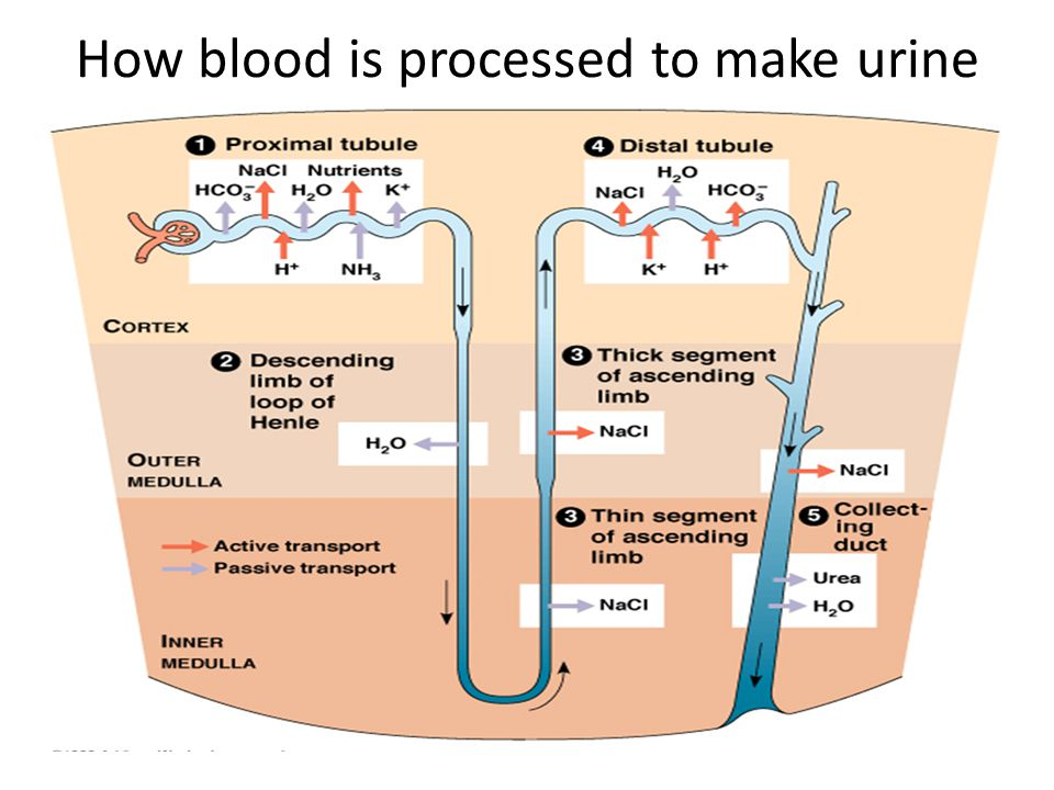 How blood is processed to make urine