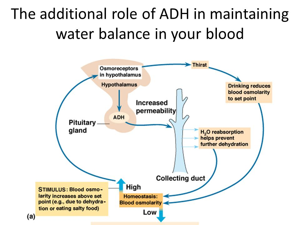 The additional role of ADH in maintaining water balance in your blood