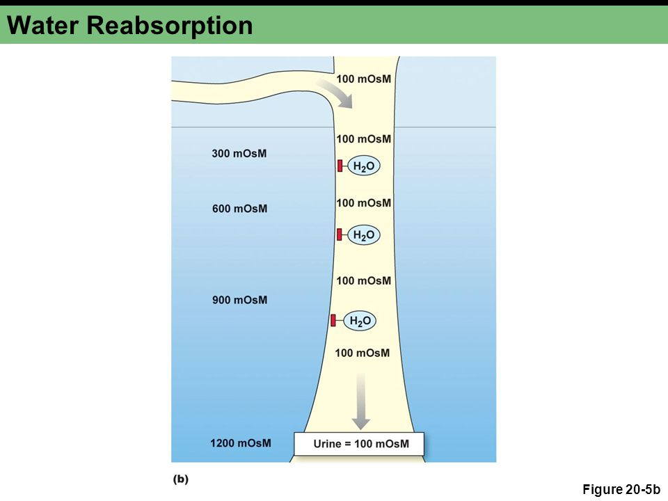 Water Reabsorption Figure 20-5b