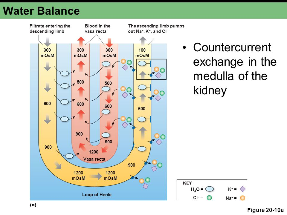 Countercurrent exchange in the medulla of the kidney