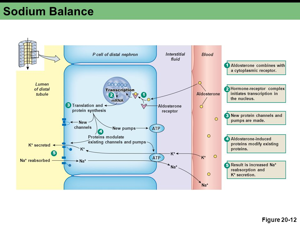 Sodium Balance Figure 20-12 P cell of distal nephron