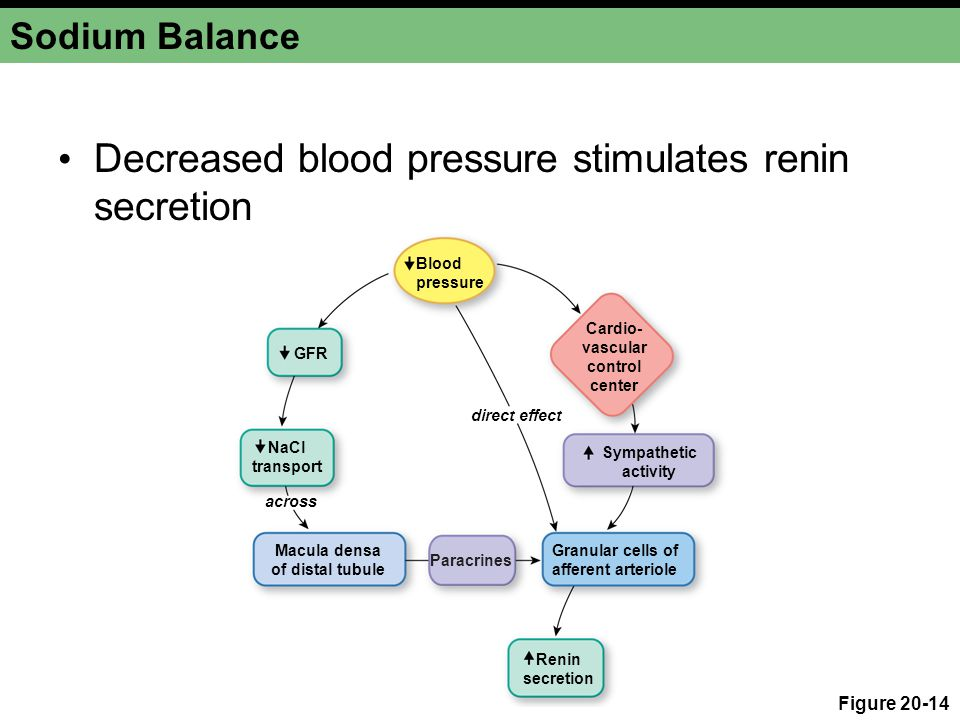 Decreased blood pressure stimulates renin secretion