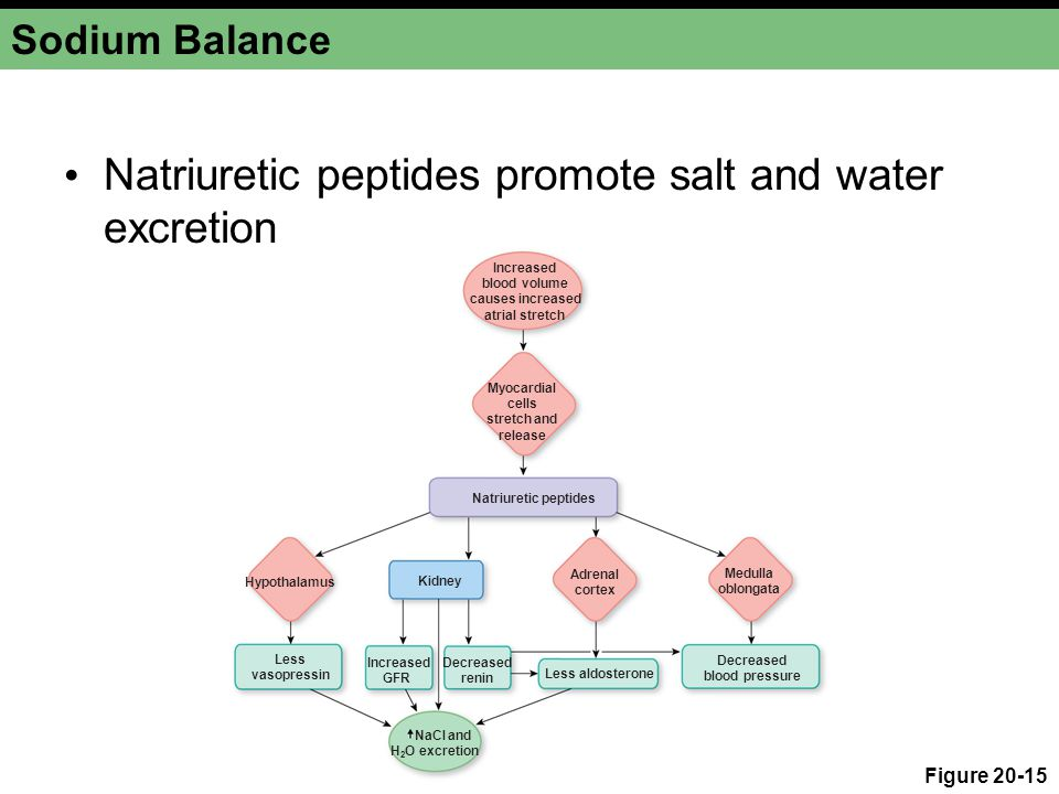 Natriuretic peptides promote salt and water excretion