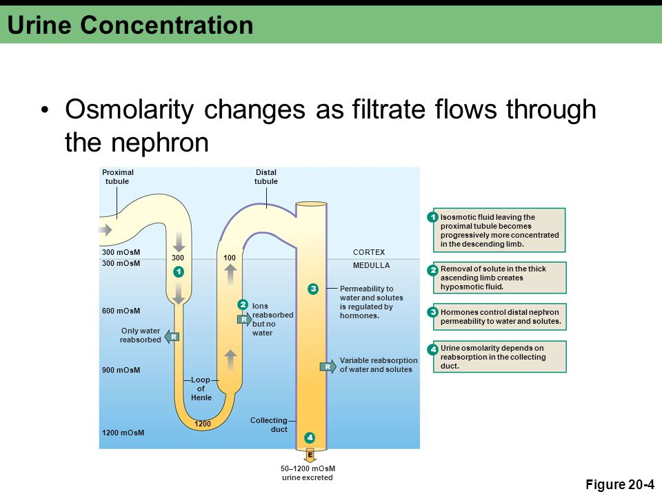 Osmolarity changes as filtrate flows through the nephron