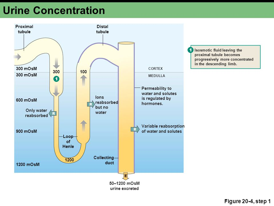 Urine Concentration Figure 20-4, step 1 Proximal tubule Distal tubule