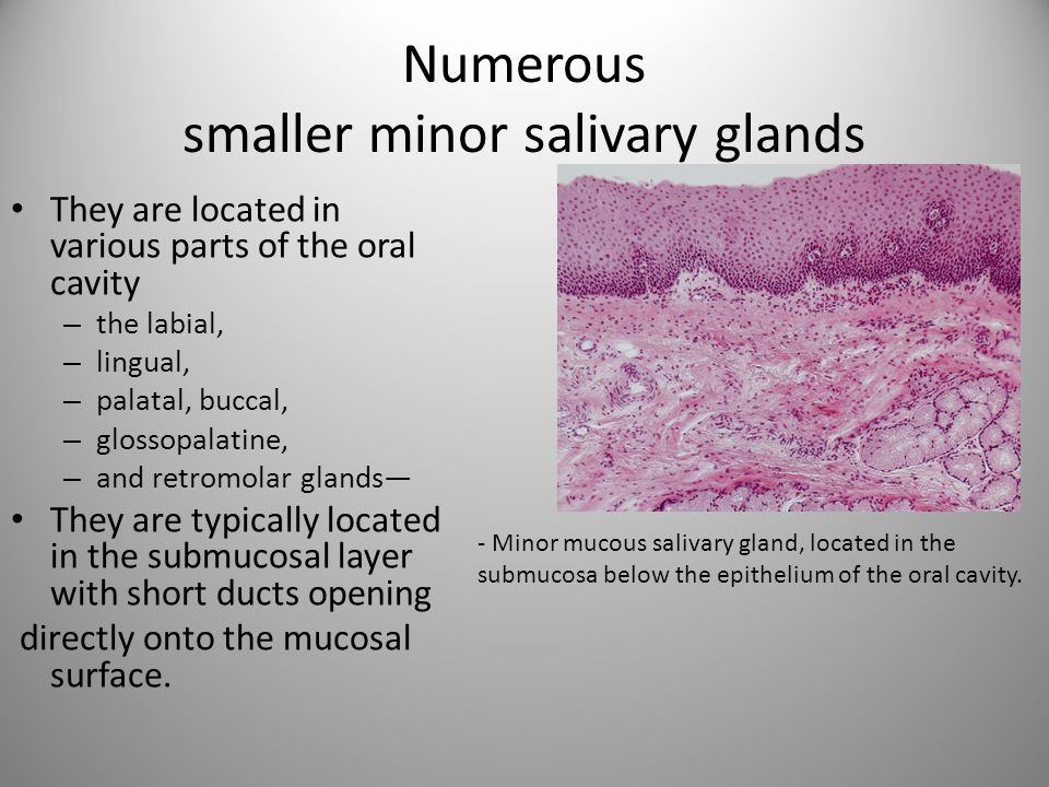 Numerous smaller minor salivary glands