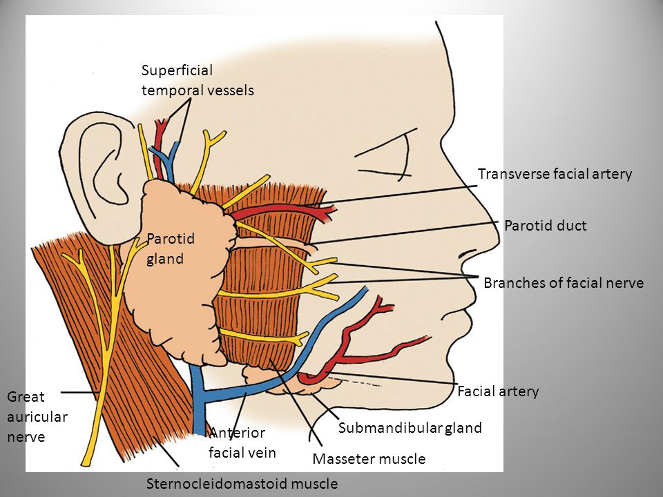 Superficial temporal vessels. Transverse facial artery. Parotid duct. Parotid. gland. Branches of facial nerve.