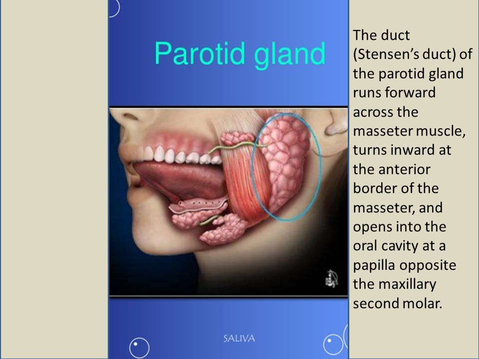 The duct (Stensen's duct) of the parotid gland runs forward across the masseter muscle, turns inward at the anterior border of the masseter, and opens into the oral cavity at a papilla opposite the maxillary second molar.