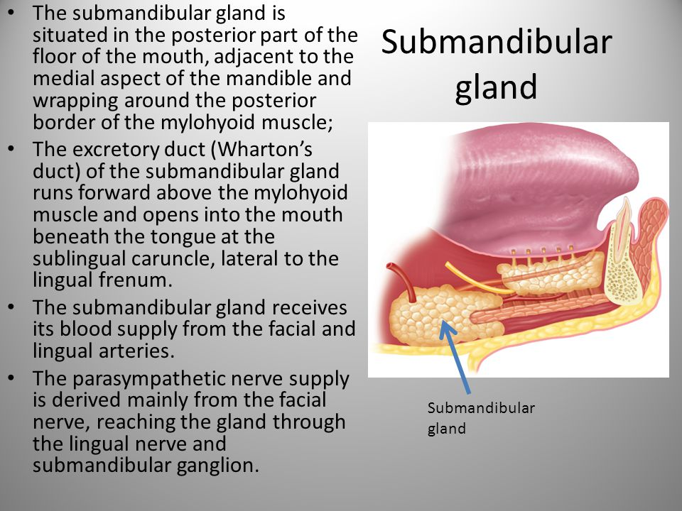 The submandibular gland is situated in the posterior part of the floor of the mouth, adjacent to the medial aspect of the mandible and wrapping around the posterior border of the mylohyoid muscle;
