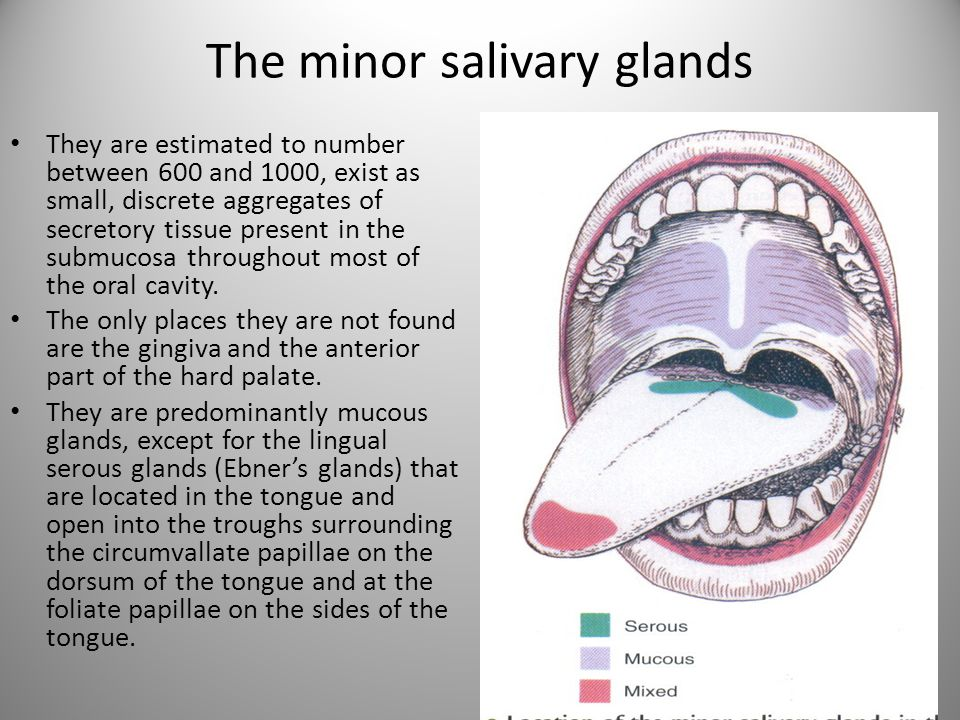 The minor salivary glands