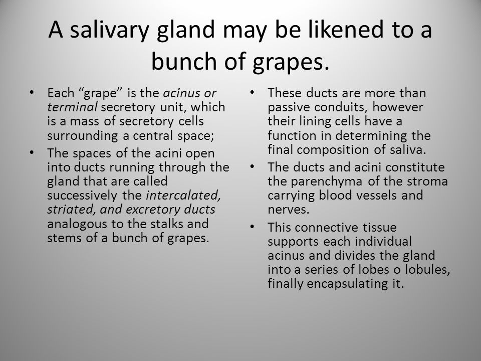 A salivary gland may be likened to a bunch of grapes.